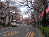 中野通り「桜」(2009.03.29-n)