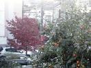 柿2012(収穫間近)11.15