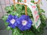 148_4863.JPG-asagao710