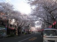 中野通り桜(080402北方面)