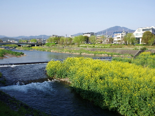 菜の花、鴨川