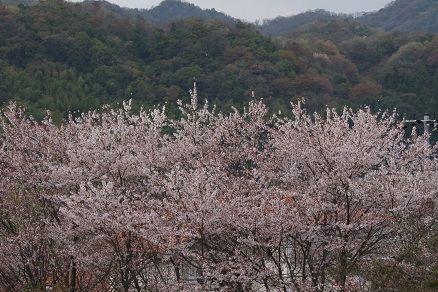 150403桜
