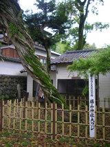 藤山神社大フジ