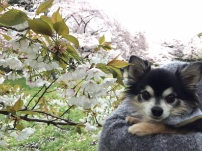 桜黒2017