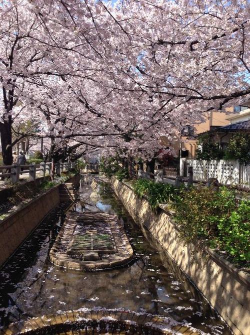ryokudousakura22