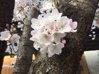お花見_170408_01 (2) (200x150)