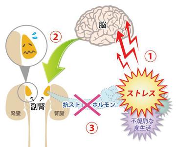 副腎 ストレスの影響 画像1
