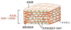 角質層 画像1