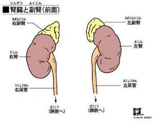 副腎 画像1