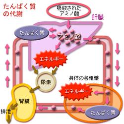 タンパク質過剰摂取 画像2