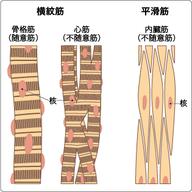 筋肉の分類 画像1