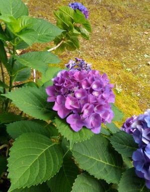 濃い紫のアジサイ