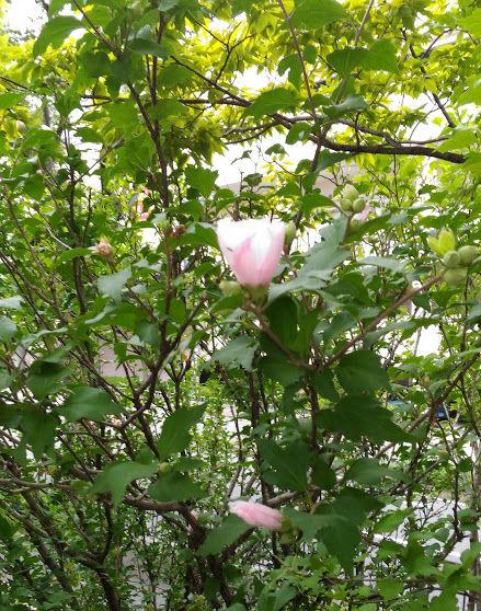バラにも似ているけれどピンクの花