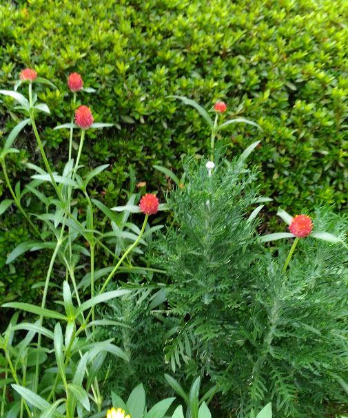 赤いボンボン花