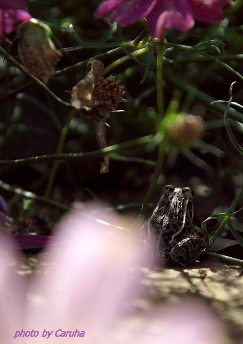 カエルとコスモス