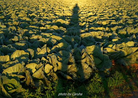 キャベツ畑の朝