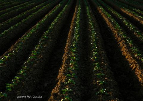キャベツ畑の朝2
