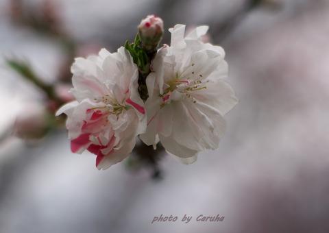 花桃 白-001