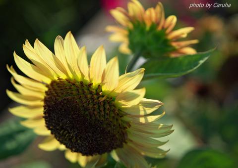 サンテパルクの向日葵2