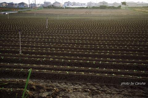 キャベツ畑で