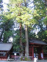 Twin Trunk Cedar