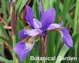 Ayame (Iris sanguinea)