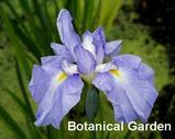 Hana Shōbu (Iris ensata)