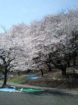 2007桜5