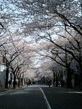 2007桜8