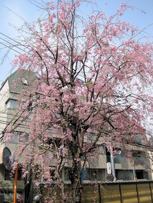 11しだれ桜