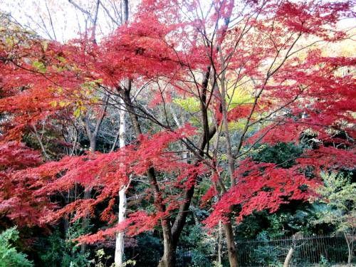 29野川6紅葉