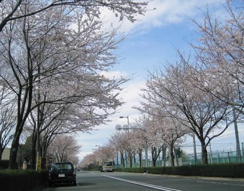 01滑走路桜
