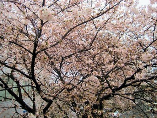 seiseki桜-01