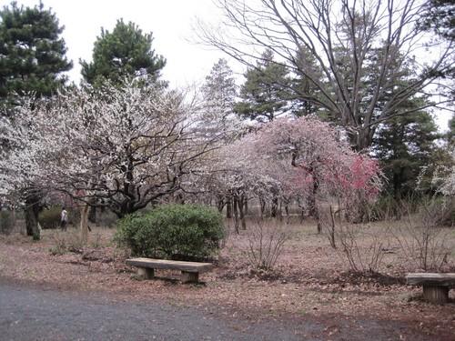 27武蔵野公園梅