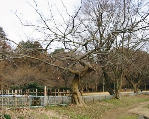 31梅の木