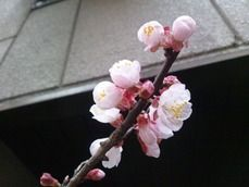 都内某所 桜
