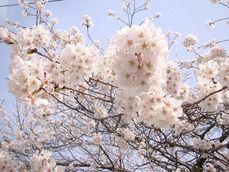 大月市某所の桜