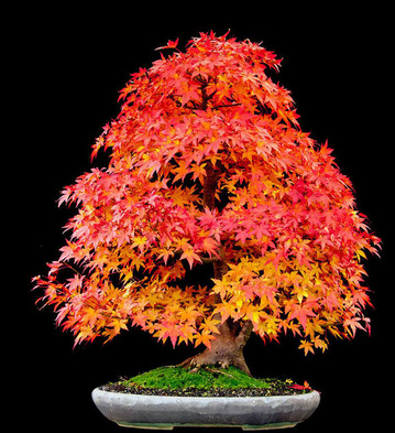 amazing-bonsai-trees-24-5710f78e7b4e5__700