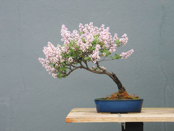 amazing-bonsai-trees-8-5710e7a49c05c__700