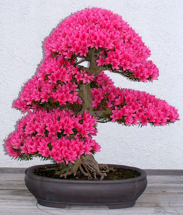 amazing-bonsai-trees-1-5710e77e33ce6__700