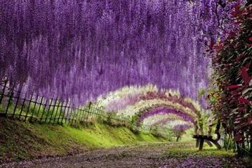 Wisteria-Tunnel-Kawachi-Fuji-Garden-in-Kitakyushu