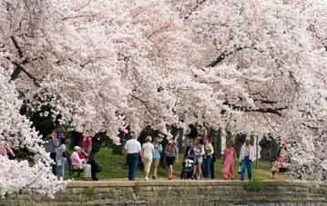 cherry-blossom-dc-1024x648-650x411