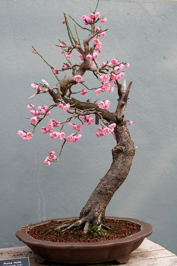 amazing-bonsai-trees-3-5710e78d95bf1__700