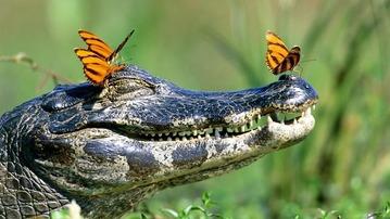 Three-Butterflies-Crocodile-570fe917b16fe__605