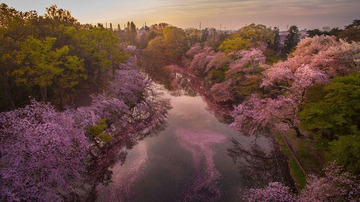 sakura-cherry-blossom-drone-photography-danilo-dungo-japan-8