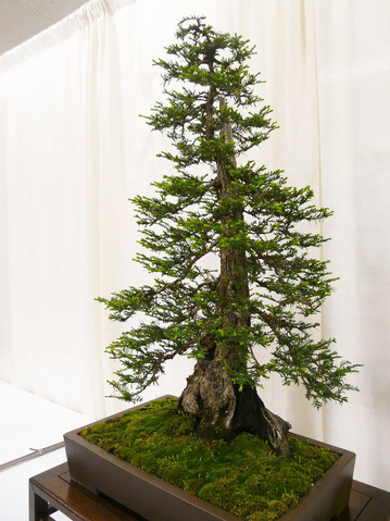 amazing-bonsai-trees-21-5710f36568db7__700