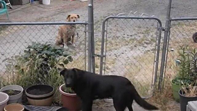 犬の見せたやさしさ。友達のためにドアを開けてあげる犬