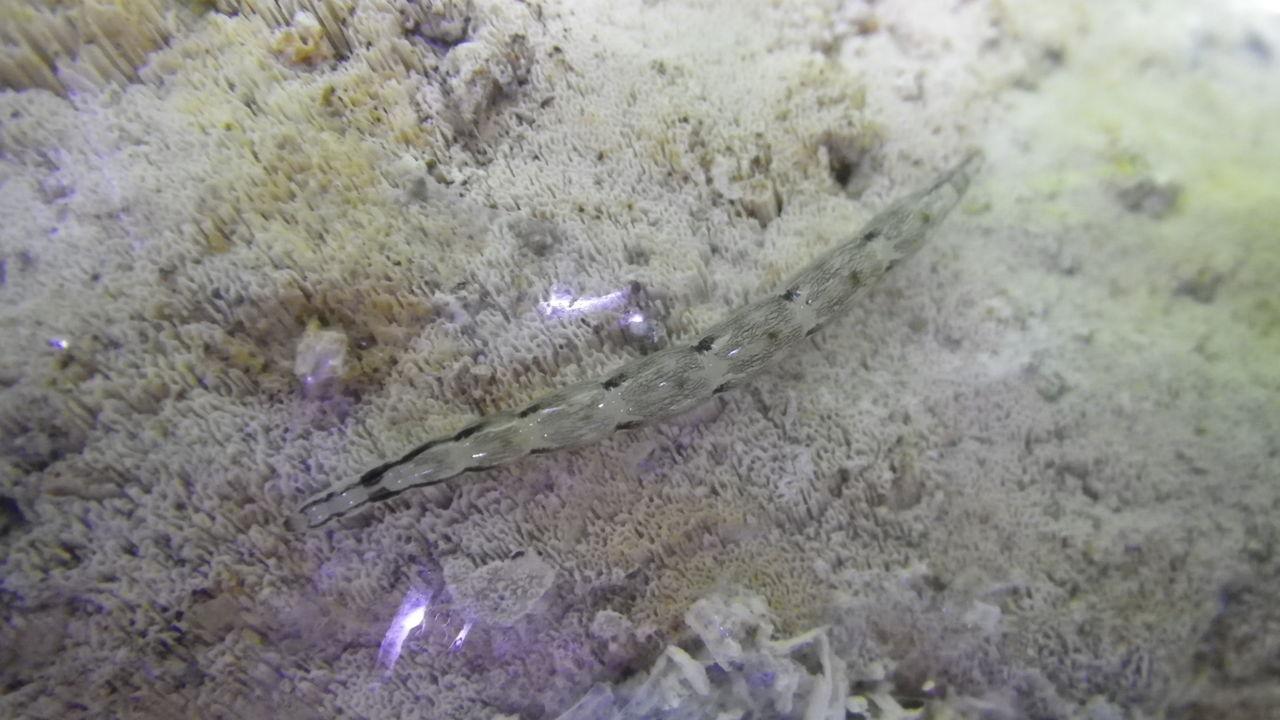 キノコバエ 幼虫