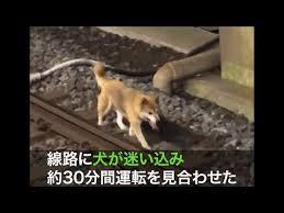 線路に迷い犬 電車30分ストップ!警笛にも動ぜずwwwww