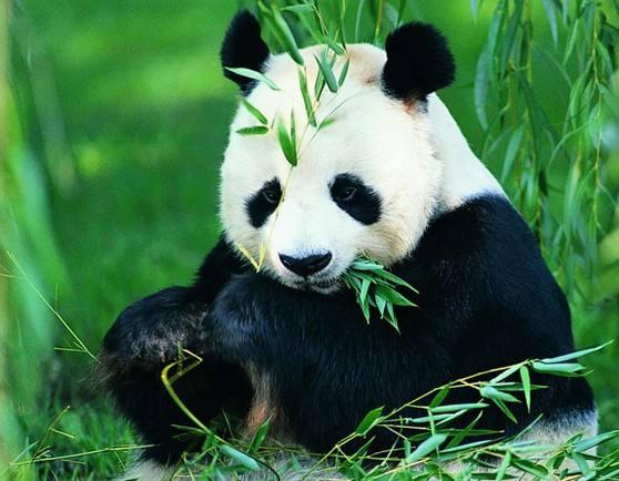 パンダ「笹ばっか食い飽きたンゴ・・・せや!」→結果wwww